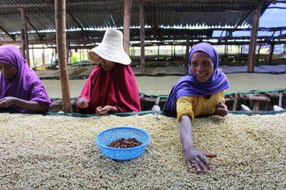 Woman sorting coffee beans