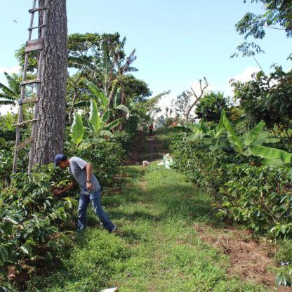 Man checking coffee plants