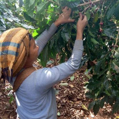 Woman picking coffee
