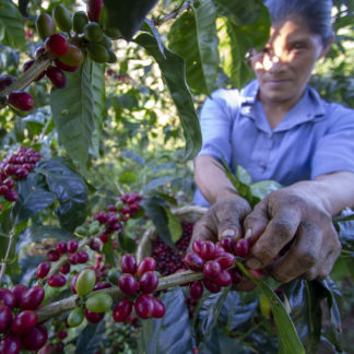 Woman picking coffee cherries from a coffee tree
