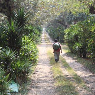 Person walking down dirt track in coffee fields
